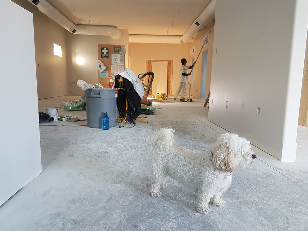 A white puppy stands on a white carpeted floor in an empty house undergoing renovations.